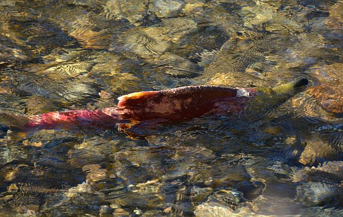 sockeye salmon adams river