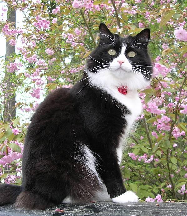 choco cat sakura
