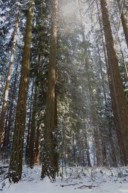 snow sliding off trees