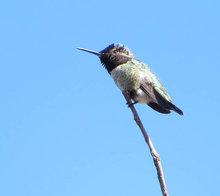 anna's hummingbird deer lake burnaby