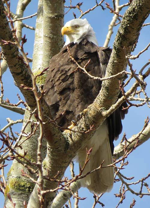 bald eagles mud bay park surrey