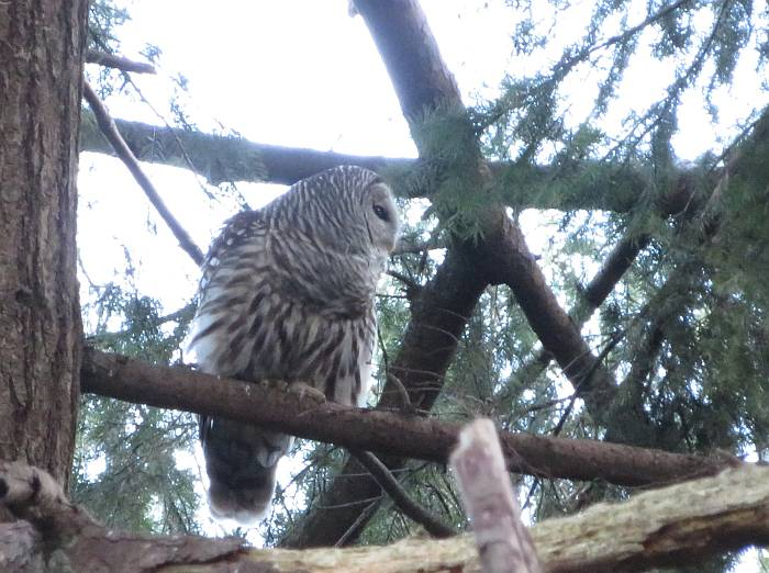 barred owl byrne creek burnaby