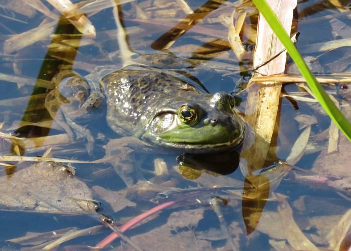 bullfrog burnaby lake
