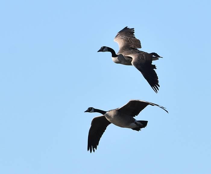 canada goose burnaby lake