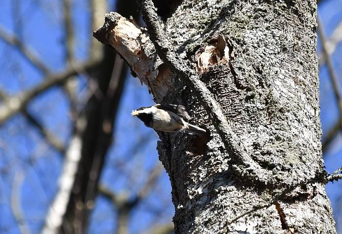chickadee tree cavity