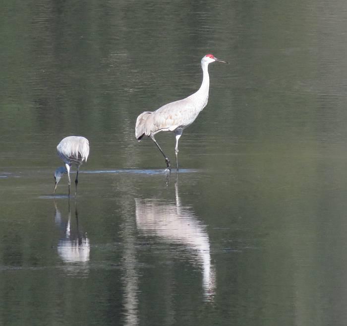 sandhill cranes minekhada