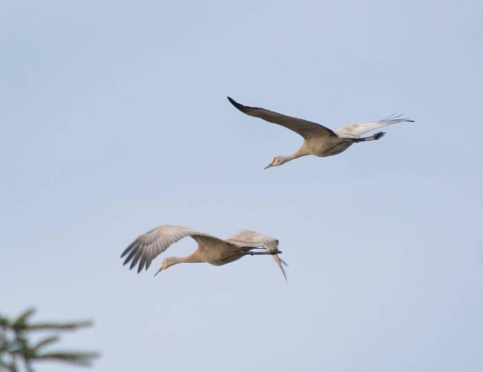 sandhill crane flyby burnaby bc