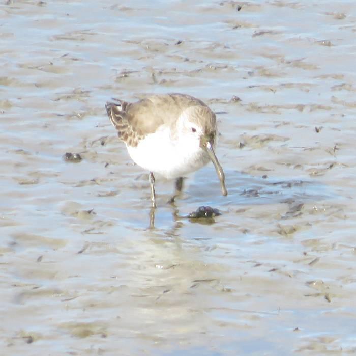 dunlins mud bay park surrey