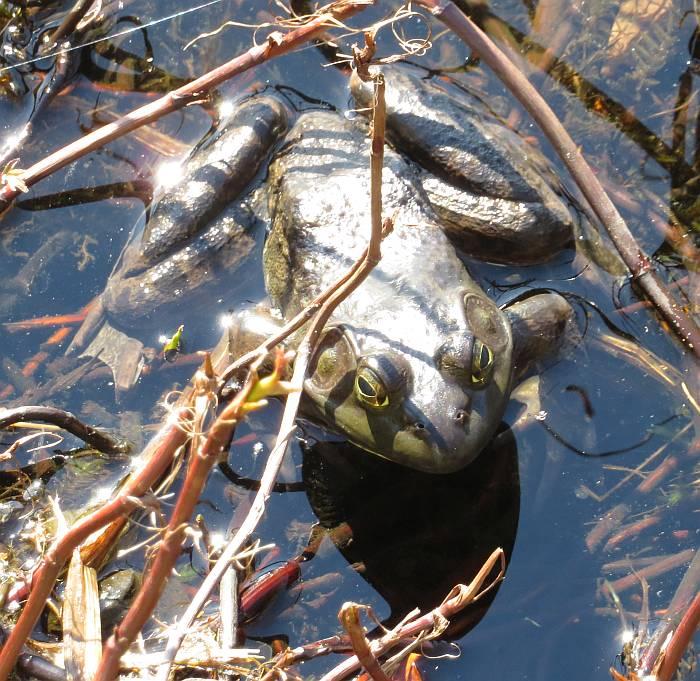bullfrog deer lake burnaby