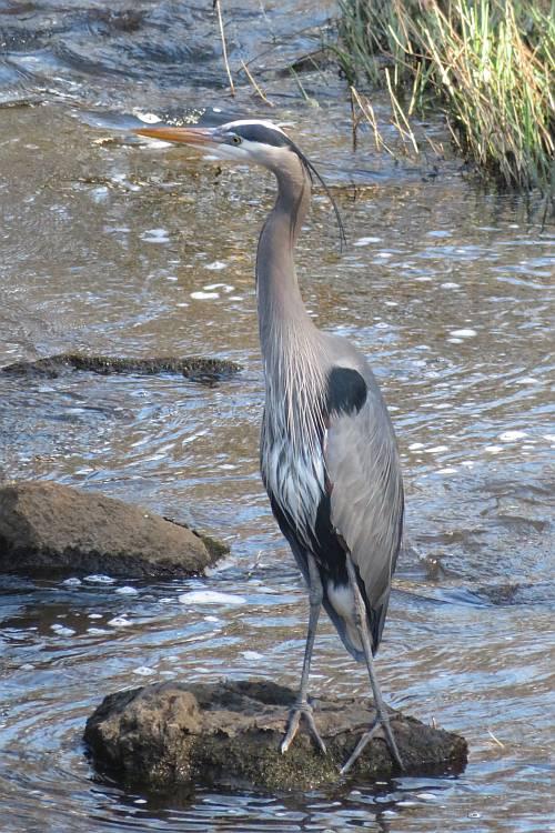 great blue heron brunette river burnaby
