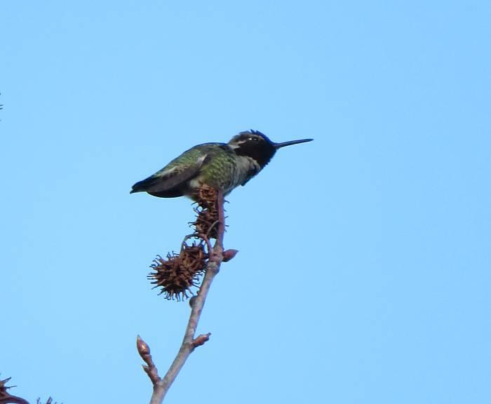 hummingbird burnaby bc