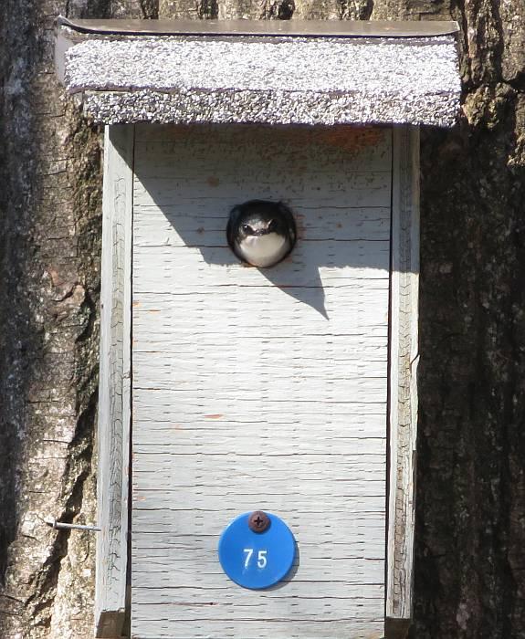 tree swallow peekaboo burnaby lake