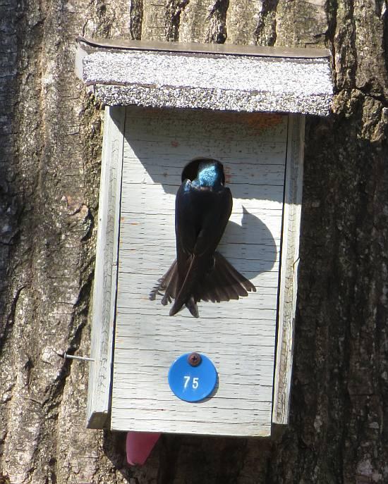 tree swallow nest box burnaby lake