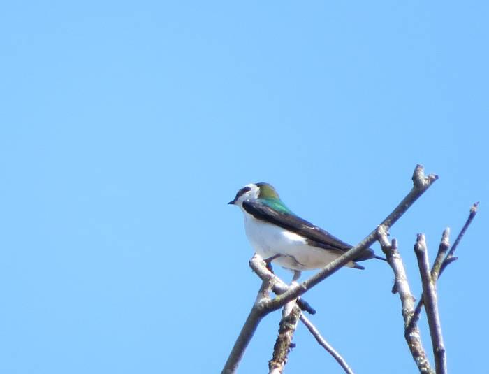 violet green swallow deer lake burnaby