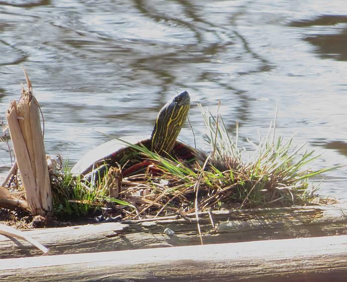 western painted turtle burnaby lake