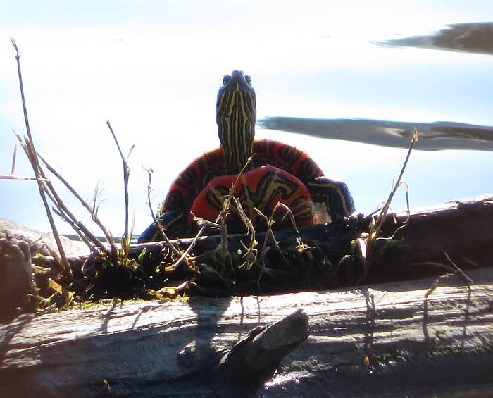 western painted turtle deer lake burnaby