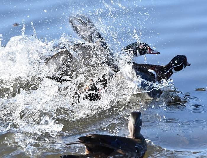 wood ducks burnaby lake
