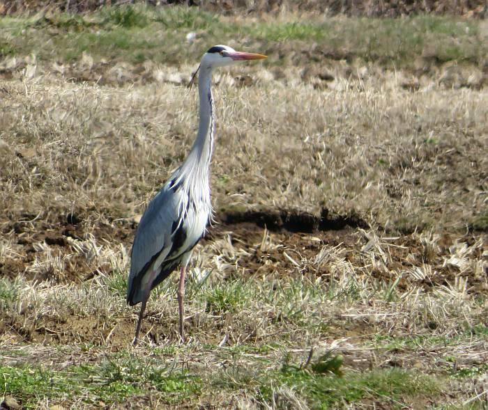 heron japanese rice field