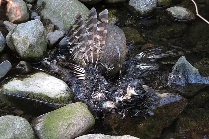 dead raptor byrne creek burnaby bc