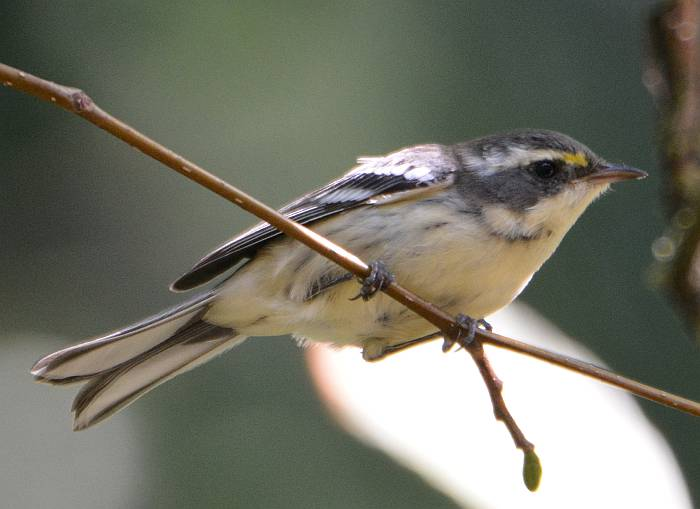 female black throated warbler