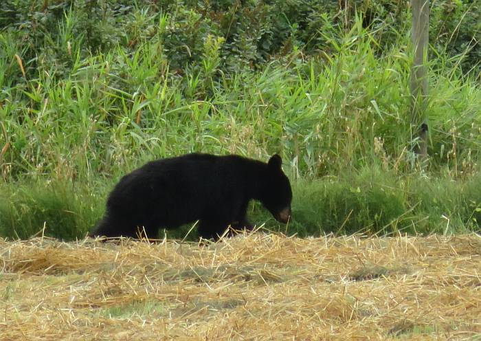 young black bear pemberton bc