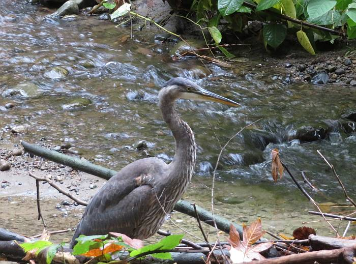great blue heron fishing Byrne Creek Burnaby