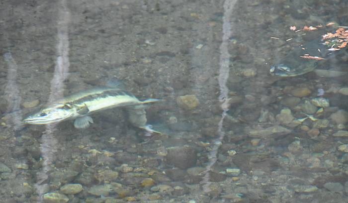 chum salmon spawning byrne creek burnaby bc