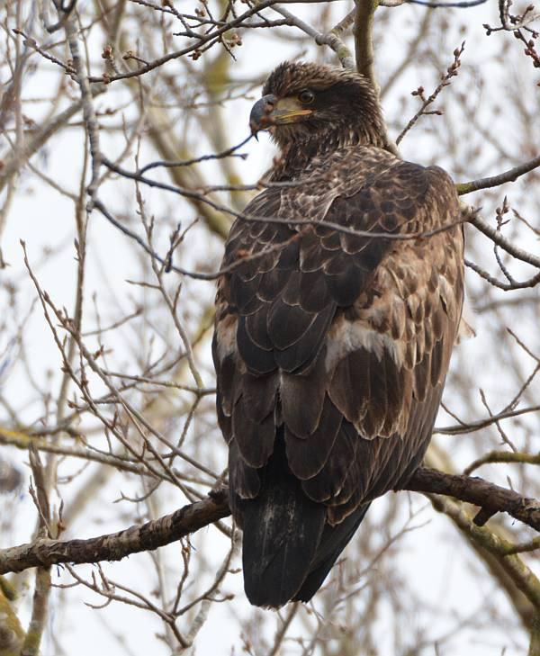 eagles boundary bay delta bc