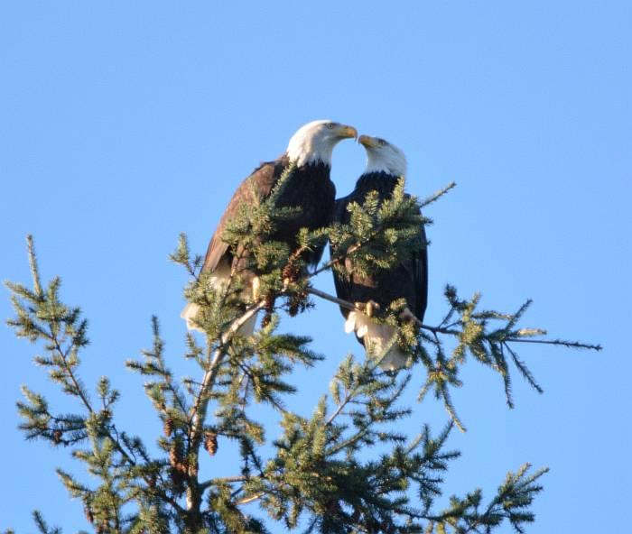 bald eagles burnaby bc