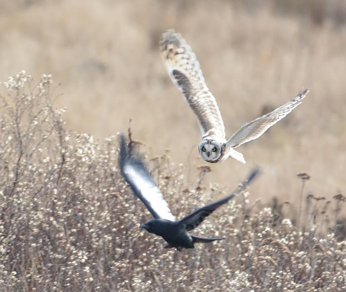 short-eared owl boundary bay delta bc