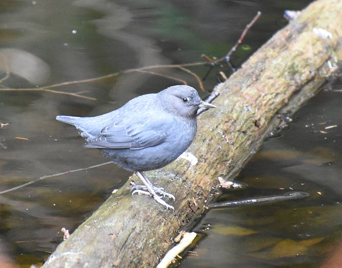 American Dipper Rice Lake North Vancouver