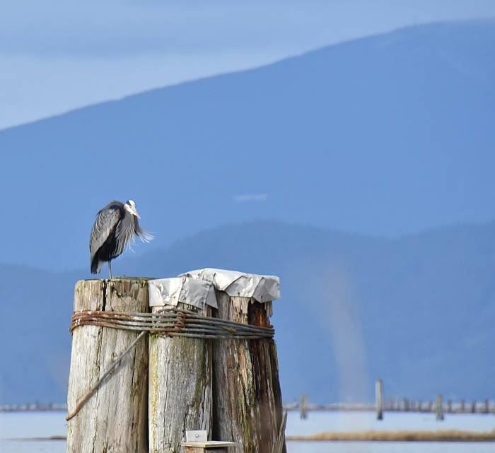 great blue herons at iona beach regional park