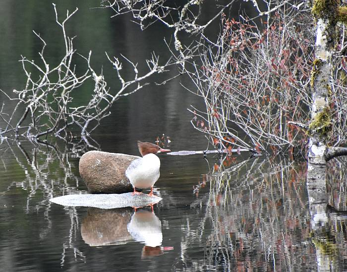 Common Merganser Rice Lake North Vancouver