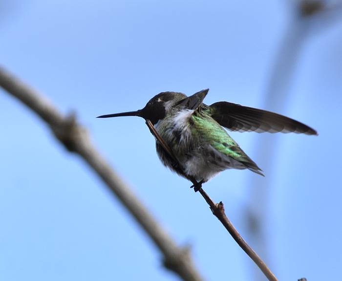 hummingbirds deer lake burnaby bc