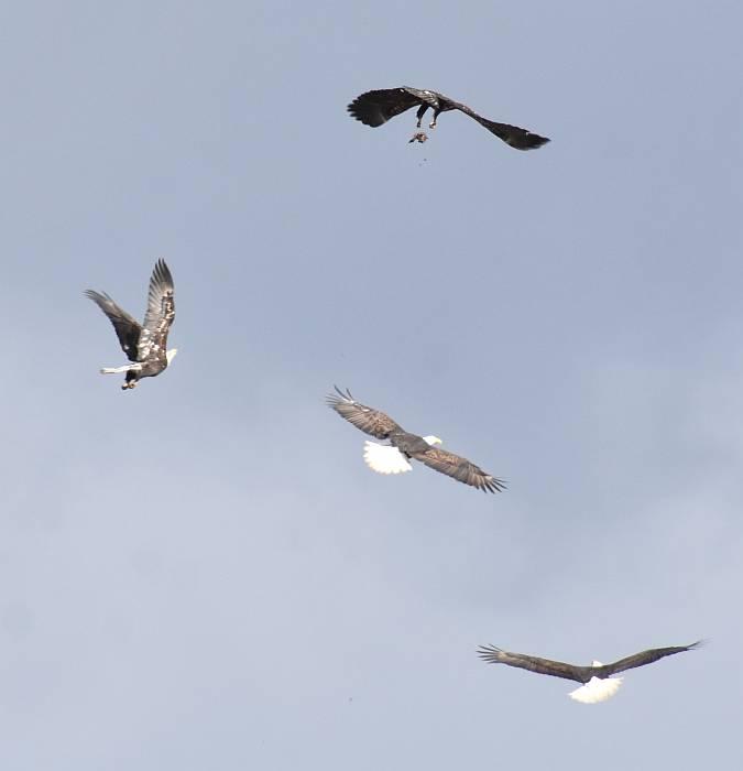 bald eagles delta bc