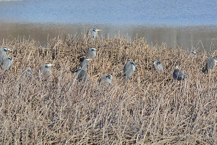great blue herons iona beach yvr