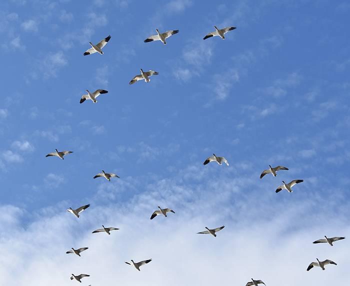snow geese iona beach regional park yvr