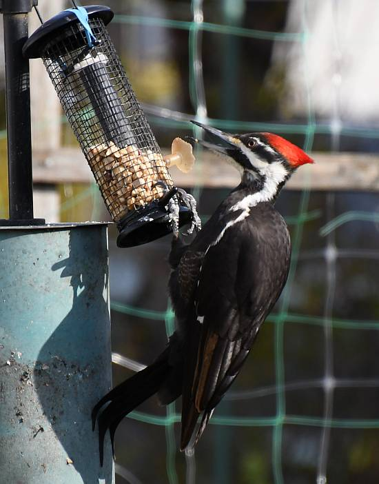 pileated woodpecker feeder