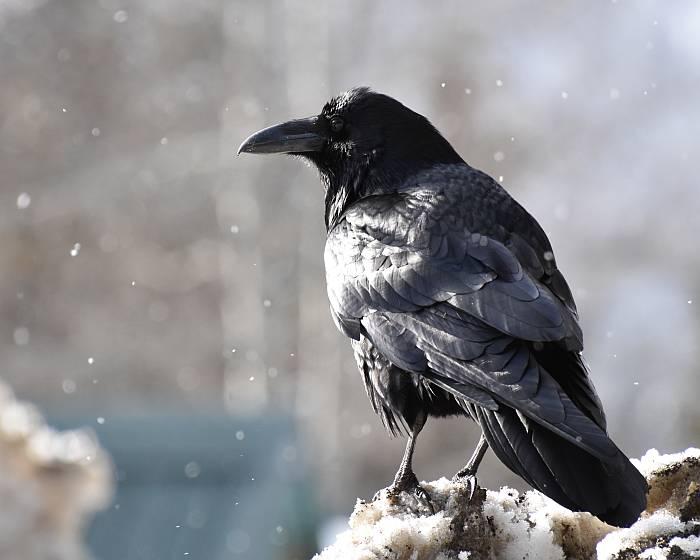 ravens manning park bc