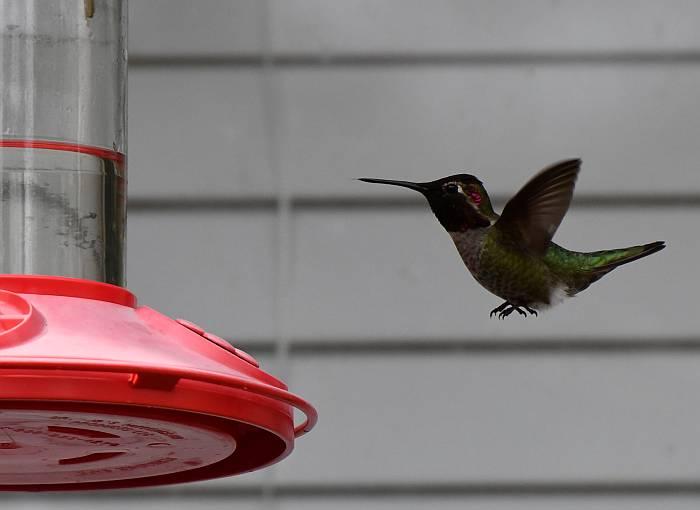 anna's rufous hummingbirds burnaby lake