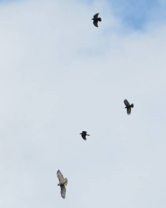 crows chase hawk burnaby bc