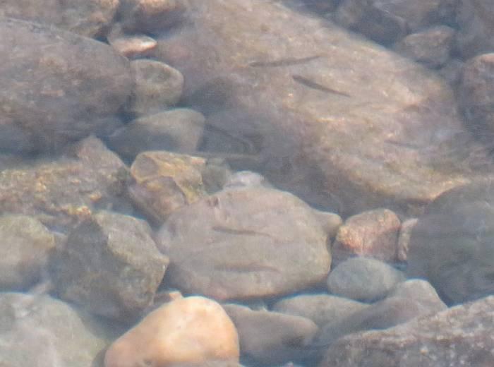 salmon fry byrne creek burnaby