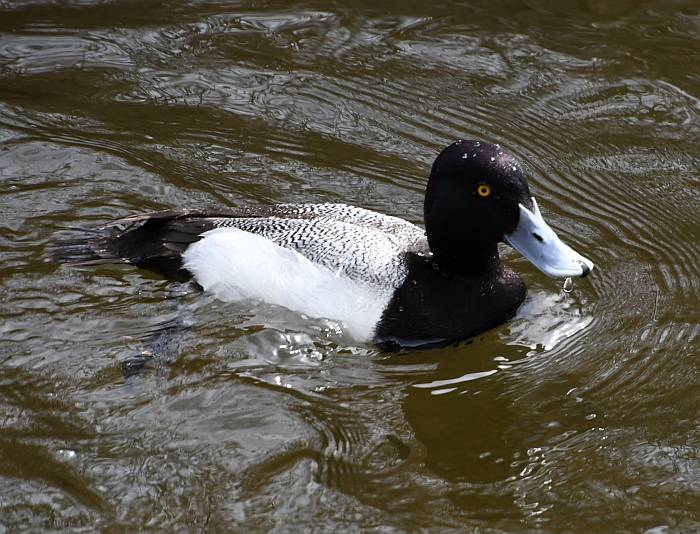 lesser scaup burnaby bc