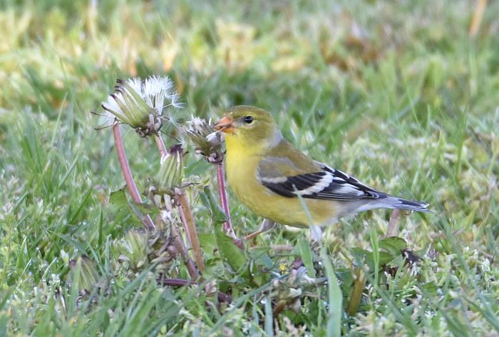 american goldfinch surrey bc