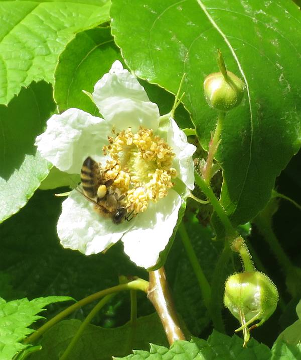 bees thimbleberry flowers burnaby bc