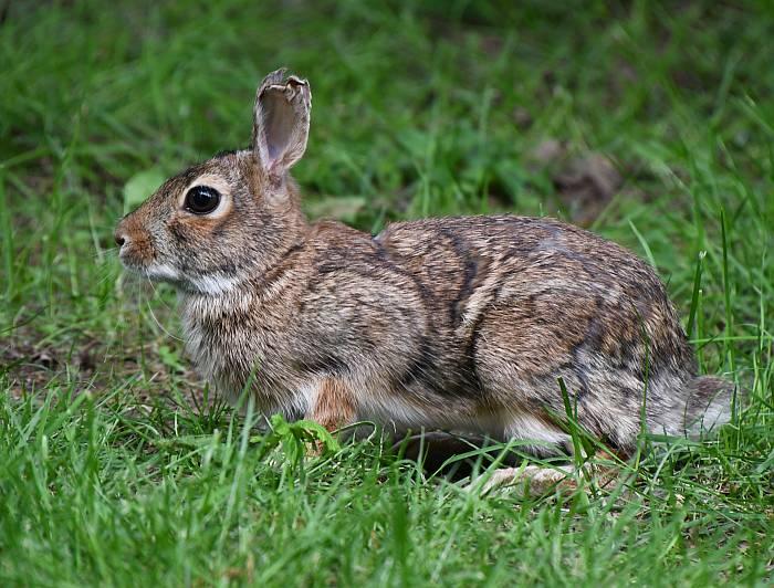 bunnies abbotsford bc