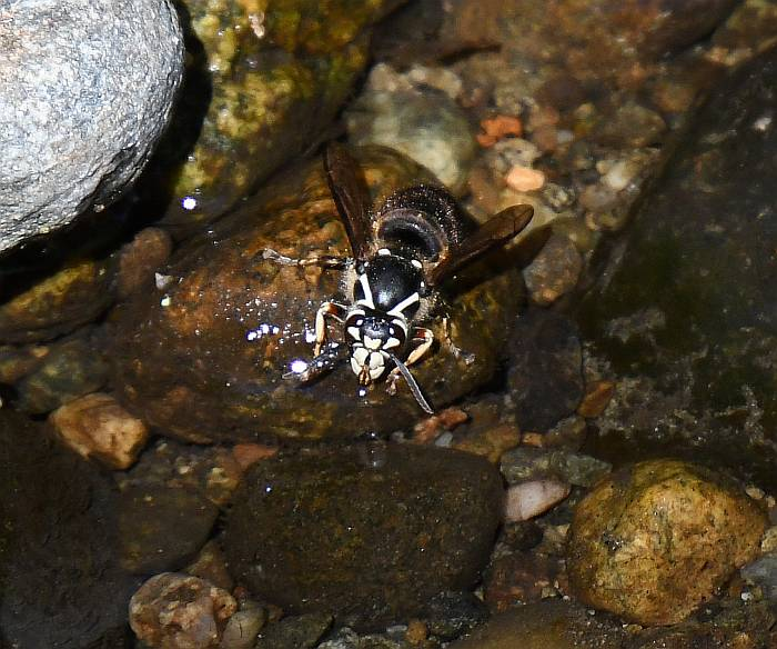 bald-faced hornet burnaby bc
