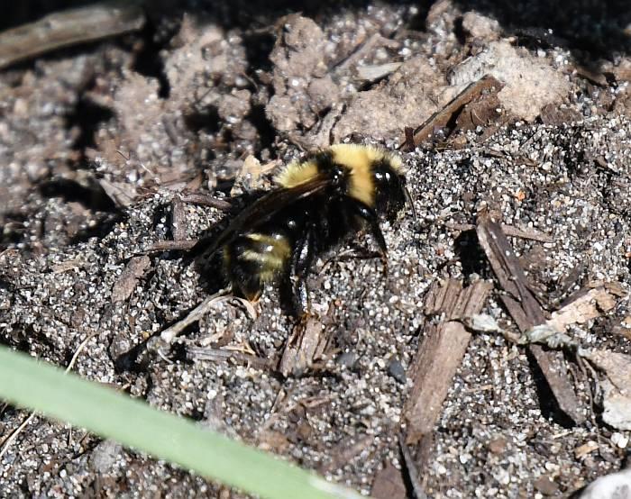bumblebee burnaby bc