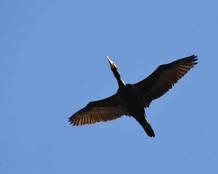 cormorant iona beach