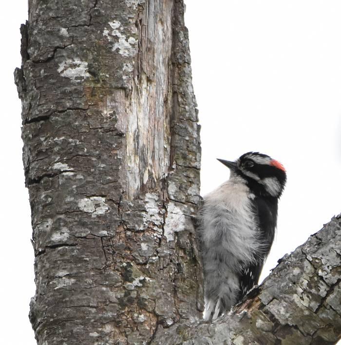 downy woodpecker burnaby bc